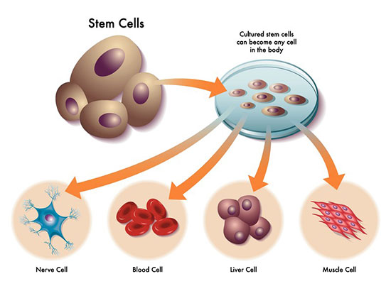 stem cells and the various other types of cells they can become