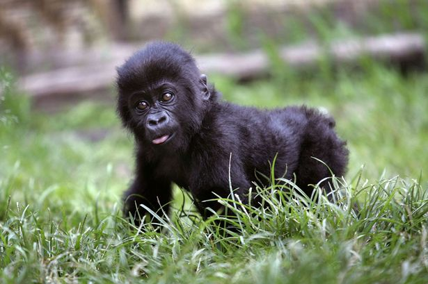 baby gorilla who was named Harambe McHarambeface by the internet