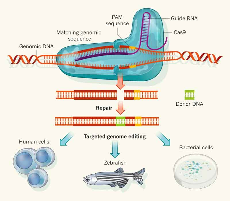 how the CRISPR process works with Cas9