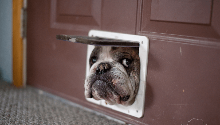 dog peeking through a doggy door that he clearly won't fit through