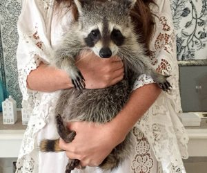 The Story Behind Pumpkin, The Instagram Celebrity Raccoon