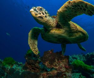 Researchers Develop Technology To Control Turtles